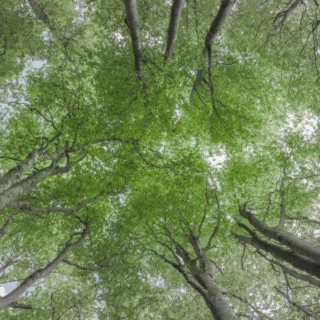 Forêt de hêtre sur le plateau d'Ambel dans le Vercors